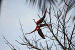Pair of scarlet macaws playing [manu_0979]