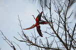 Pair of scarlet macaws playing [manu_0980]