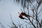 Pair of scarlet macaws playing [manu_0982]