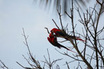 Pair of scarlet macaws playing [manu_0983]