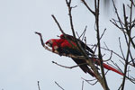 Pair of scarlet macaws [manu_0988]