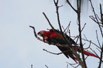 Pair of scarlet macaws [manu_0989]
