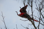 Pair of scarlet macaws [manu_0991]