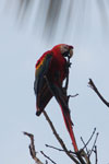 Scarlet macaw in the Amazon [manu_0994]