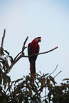 Scarlet macaw in the Amazon [manu_1004]
