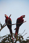 Pair of scarlet macaws [manu_1007]