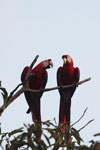 Pair of scarlet macaws [manu_1008]