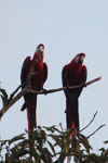 Pair of scarlet macaws [manu_1009]