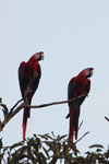 Pair of scarlet macaws [manu_1010]