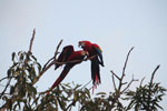 Pair of jawing scarlet macaws