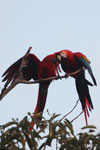 Pair of jawing scarlet macaws [manu_1020]