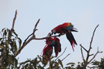 Pair of jawing scarlet macaws [manu_1021]