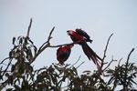 Pair of jawing scarlet macaws [manu_1022]