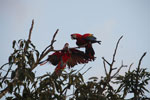 Pair of jawing scarlet macaws [manu_1023]