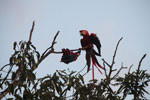Pair of jawing scarlet macaws [manu_1024]