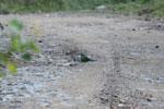 Blue-crowned Motmot (Momotus momota) [manu_1069]