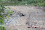 Blue-crowned Motmot (Momotus momota) [manu_1070]
