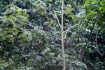 Blue-crowned Motmot (Momotus momota) [manu_1075]