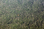 Airplane view of flowering trees and rainforest canopy in the Ucayali department of the Peruvian Amazon