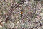Blue-and-yellow Tanager (Thraupis bonariensis) [wayquecha-andes_0034]