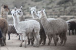Group of Alpaca (Vicugna pacos) in the Peruvian Andes [wayquecha-andes_0071]