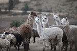 Group of Alpaca (Vicugna pacos) in the Peruvian Andes