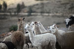 Group of Alpaca (Vicugna pacos) in the Peruvian Andes [wayquecha-andes_0075]