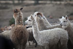 Group of Alpaca (Vicugna pacos) in the Peruvian Andes [wayquecha-andes_0076]