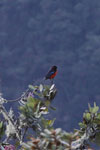 Scarlet-bellied Mountain-tanager (Anisognathus igniventris) [wayquecha-andes_0128]