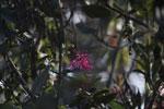 Pink flower [wayquecha-andes_0148]