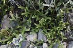Tiny fern species