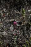 Magenta orchid [wayquecha-andes_0154]