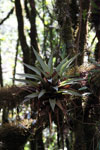 Bromeliad in the Manu cloud forest