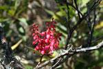 Magenta flowers [wayquecha-andes_0191]