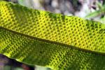 Spores on a fern leaf