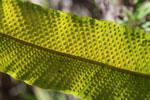 Spores on a fern leaf [wayquecha-andes_0206]