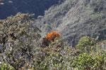 Orange parasitic plant
