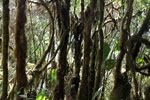 Lichen-covered tree trunks in the cloud forest