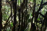 Lichen-covered tree trunks in the cloud forest [wayquecha-andes_0211]
