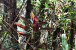 Red-leafed plant in Peru's cloud forest