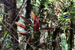Red-leaf plant in Peru's cloud forest