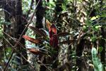 Red-leaf plant in Peru's cloud forest