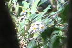 Daisy-like flower