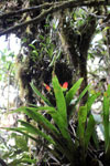 Bromeliads in the cloud forest of Peru