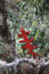 Red bromeliad flower [wayquecha-andes_0301]