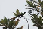 Collared Inca hummingbird (Coeligena torquata)