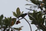 Collared Inca hummingbird (Coeligena torquata)  [wayquecha-andes_0369]