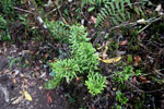 Peruvian fern [wayquecha-andes_0389]