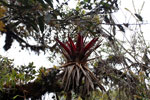 Bromeliad in Peru's cloud forest [wayquecha-andes_0395]