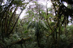 Tree ferns in the Manu cloud forest